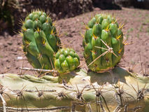 Cactus With three flowered tips Royalty Free Stock Photography