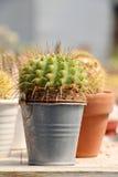 Cactus in a tin pot Stock Photo