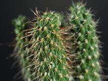 Cactus tiny tree Royalty Free Stock Photo