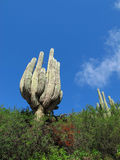 Cactus to the sky Royalty Free Stock Photo