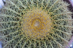 Cactus top view photo golden ball plant. Stock Photography