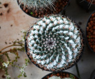 Cactus top view Royalty Free Stock Photo