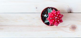 Cactus. Top view red cactus in pot  with wooden background Stock Photos