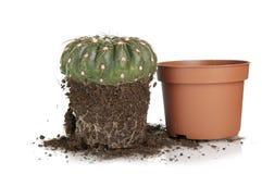 Cactus transplantation Stock Image