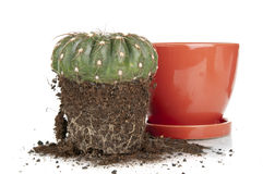 Cactus transplantation Stock Photo