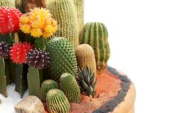 Cactus tray garden royalty free stock images