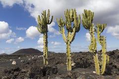 Cactus tre su un giacimento di lava Fotografia Stock