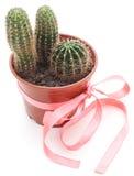 Cactus tre in un vaso Fotografia Stock