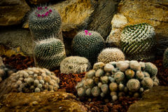 Cactus tree. Close up shot a cactus tree with worm tone Royalty Free Stock Photos