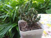 Cactus tree royalty free stock photos