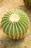 Cactus tree. Green cactus tree on sand floor royalty free stock photo