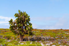 Cactus Tree Royalty Free Stock Image