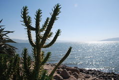 Cactus tree on a seaside shore Royalty Free Stock Image