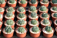 Cactus tree shop with breeding in the house for sale cactus selective focus. Cactus, Cactus tree shop with breeding in the house for sale selective focus Royalty Free Stock Photos