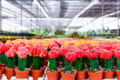 Cactus tree shop with breeding in the house for sale Stock Images