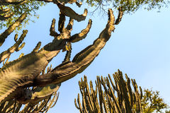 Cactus trees in africa Stock Photography