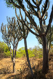 Cactus trees in africa landscape. In summer stock photo