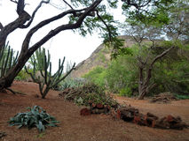 Cactus trees and cut logs inside the crater of Koko Head Royalty Free Stock Photography