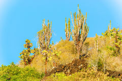 Cactus trees in Galapagos islands Royalty Free Stock Image