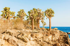 Cactus trees in Galapagos islands Royalty Free Stock Photo