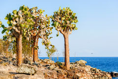 Cactus trees in Galapagos islands Royalty Free Stock Images