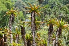Cactus trees Stock Photos