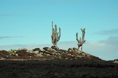 Cactus trees on rock islet,Galapagos. Small islet with cactus trees near Isabella Island,Galapagos Royalty Free Stock Images