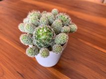 Cactus trees in a white pot placed on a wooden table royalty free stock images