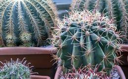 Cactus tropical en el jardín botánico de la ciudad imágenes de archivo libres de regalías