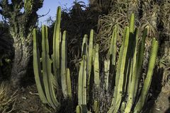 Cactus trovato in Sountern California fotografia stock