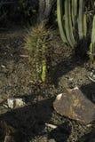 Cactus trovato in Sountern California immagini stock libere da diritti
