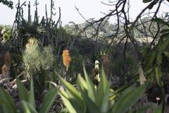 Cactus trovato in Sountern California immagini stock