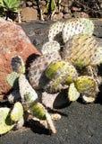 Cactus in tuin royalty-vrije stock foto