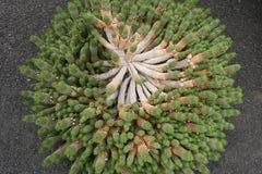 Cactus in tuin op Lanzarote, Canarische Eilanden, Spanje Royalty-vrije Stock Foto