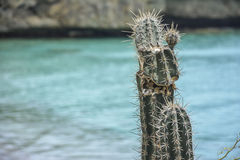 Cactus with a turquoise sea in the background - Curacao, Dutch Caribbean. A cactus with a turquoise sea in the background - Curacao, Dutch Caribbean Royalty Free Stock Photos