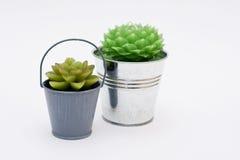 Cactus twee in de emmers Royalty-vrije Stock Foto's