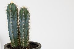 Cactus type san pedro with two heads with thorns and green trunk royalty free stock images