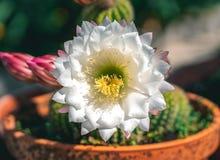 Cactus in un barattolo immagine stock