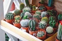 Cactus in un negozio di fiore Immagine Stock