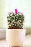 Cactus in un POT Immagini Stock Libere da Diritti