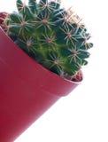 Cactus in un POT. Immagine Stock Libera da Diritti