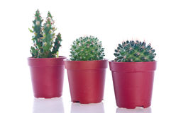 Cactus in un POT. Immagine Stock