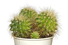 Cactus in un POT bianco isolato su bianco Immagine Stock Libera da Diritti