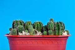 Cactus in un POT marrone Immagini Stock Libere da Diritti