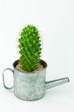 Cactus in una latta nel fondo bianco Immagini Stock Libere da Diritti