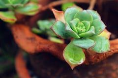 Cactus in vaas Stock Foto