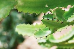 Cactus van aar royalty-vrije stock foto