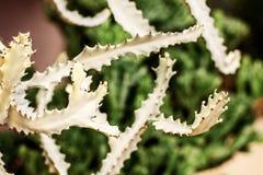 Cactus van aar stock foto