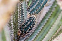 Cactus van aar royalty-vrije stock foto's
