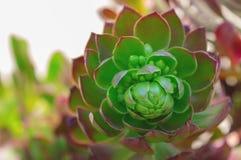 Cactus van de close-up de succulente groene installatie Echeveria royalty-vrije stock afbeelding